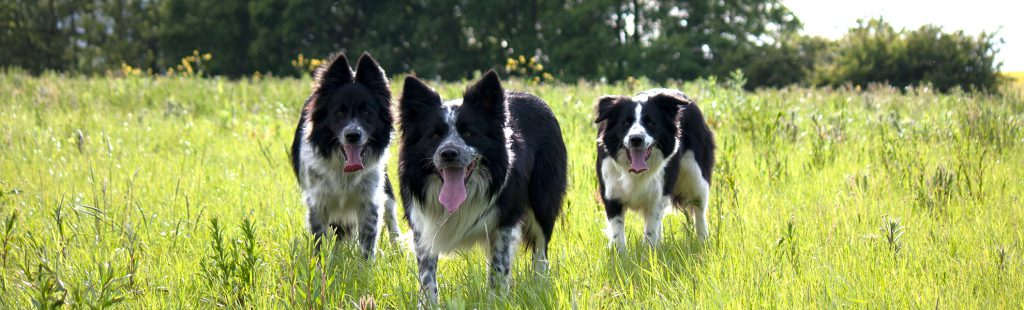 three collies