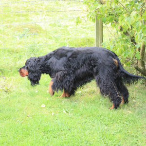 gordon setter pointing