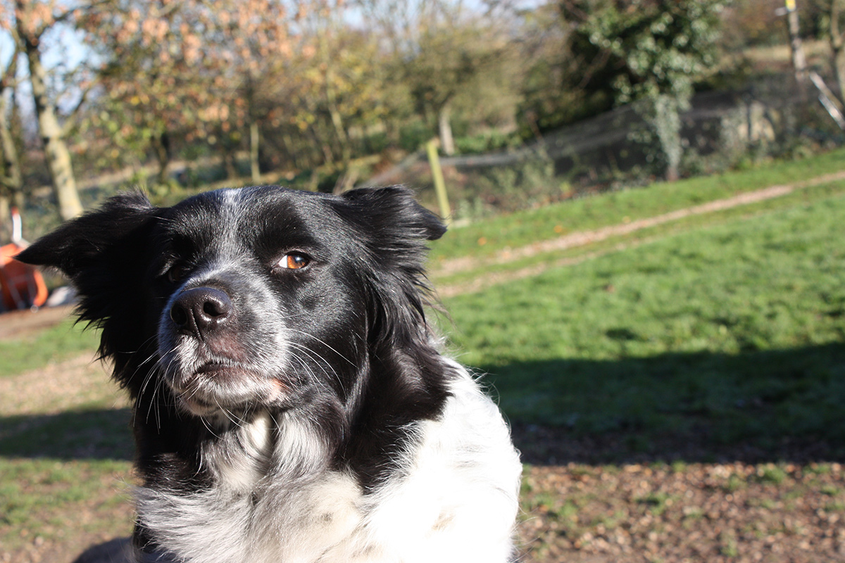 mistrusting look from a collie