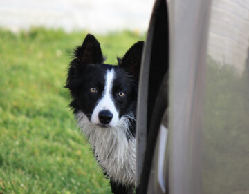 Learning About Border Collies